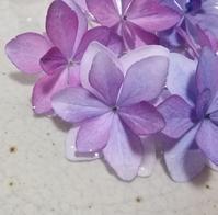 紫陽花を買う… - 侘助つれづれ