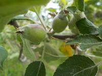 リンゴと芍薬と薪 - 冬青窯八ヶ岳便り