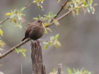 森林に響くミソサザイの声 - コーヒー党の野鳥と自然 パート2