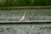 亜麻色 アマサギ - azure 自然散策 ~自然・季節・野鳥~