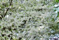 シロヤシオ咲く - 旅のかほり