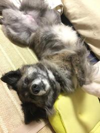 ぱっかん! - 琉球犬mix白トゥラーのピカ