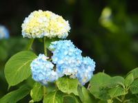 ホタルの飛び始めと小田原城の紫陽花が咲き始めました。 - 鶴井の宿 紫雲荘 最新情報