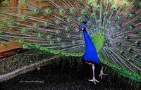 peacock - A  B  C
