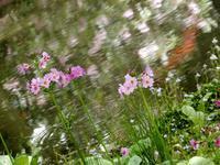 九輪草の苑 * jardin de kurin-so - ももさえずり*紀行編*cent chants de chouette