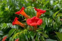 ノウゼンカズラ - あだっちゃんの花鳥風月