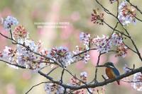 桜の余韻(動画) - 花野鳥風月MISCHEH