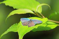 オオミドリシジミゼフィルスの森で - 蝶のいる風景blog