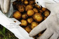 ジャガイモの収穫に。 - 木曜会と日々の香草・薬草ノート