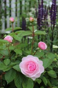 バラの開花が次々と♪ - ペコリの庭 *