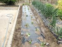 初めて安納芋を植え、中生タマネギも収穫 - 飛行機とパグが好きなお母さんの日記