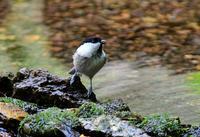 水場にて - ひげ親爺の探鳥日記