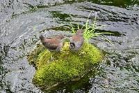カワガラス幼鳥が2羽……奥でない日光② - Taro's Photo