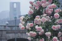 雨の薔薇園 - わんまいる*さんぽみち