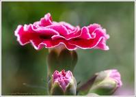 庭に咲く花カーネーション - 野鳥の素顔 <野鳥と・・・他、日々の出来事>