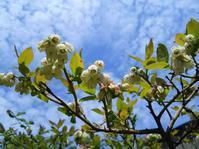ブルーベリーの花 - あいのひとりごと