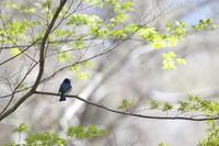 よろこびの歌 ♪ 鳥天使オオルリ - 虹の架け橋  ~天使*精霊たちとともに~