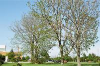 巨木ヤチダモの若葉 - 照片画廊
