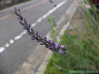 ラベンダーの花が咲くころ - お山な日々・・・時々町