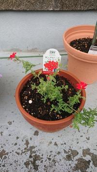 サンブリテニアスカーレット 花が咲いた - わたし。 ~手芸と日録~