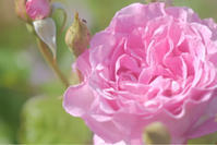 この春に撮った薔薇写真です。 - いつ花