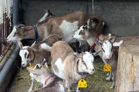 ヤギたちの雨宿り - 動物園放浪記