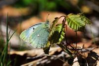 みちのくモンシロチョウ - みちのくの大自然