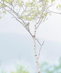 奥日光・戦場ヶ原のホオアカ - 光 塗人 の デジタル フォト グラフィック アート (DIGITAL PHOTOGRAPHIC ARTWORKS)