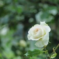 5月の薔薇 - わんまいる*さんぽみち