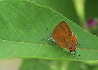ゼフィルス2018地元の3種 - 公園昆虫記