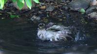 昨年今頃のオオタカお母さんの水浴び - Life with Birds 3