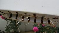 バラの挿し穂が発根していました - バラの栽培と犬の世話、そして妻と神社巡りの日々