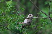 森のフクロウ(3) - 彩の国 夢見人のフォト日記