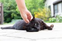 さくら耳の黒猫ちゃん - 猫と夕焼け