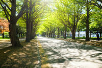 夏の銀杏並木 - なよら風