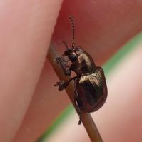 ドウガネサルハムシかな? Scelodonta lewisii? - 写ればおっけー。コンデジで虫写真
