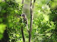 フクロウ 幼鳥 - azure 自然散策 ~自然・季節・野鳥~