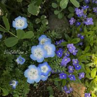 ネモフィラ インシグニスブルー - Bleu Belle Fleur☆ブルーベルフルール