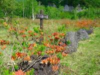 一の瀬園地のレンゲツツジが咲いてきました~。 - 乗鞍高原カフェ&バー スプリングバンクの日記②