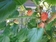 桑茶を作る - 花の自由旋律