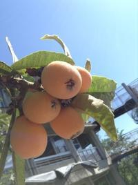 果汁たっぷりのびわをゲット!! - みかづき第二幼稚園(高知市)のブログ