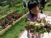 サニーレタスを収穫したよ!! - みかづき第二幼稚園(高知市)のブログ