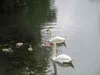 白鳥のベベは5羽! - フランス Bons vivants des marais
