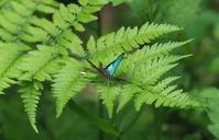 ミドリシジミ♂、青いのと緑色のとどっちが好きなの?(2018年6月1日) - みき♂の虫撮り友人帖