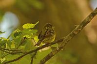 戸隠森林植物園のノビタキ Siberian Stonechat - 素人写人 雑草フォト爺のブログ