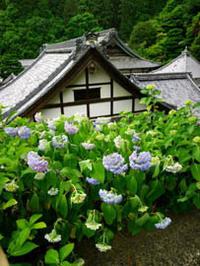 紫陽花の寺 - Blue Planet Cafe  青い地球を散歩する