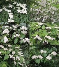 初夏の山は白い花咲かり。 - 大朝=水のふる里から
