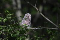 森のフクロウ(4) - 彩の国 夢見人のフォト日記