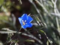 庭を彩る 青い花たち - 八ヶ岳 革 ときどき くるみ