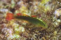 アカヒレハダカハゼ - 沖縄 ダイビング 水中写真 フォトギャラリー
